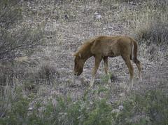 HorsesSaltRiver2-3269 (hubertstevecole) Tags: arizona hubertstevecole mustangs saltriver wildhorses wildlife tontonationalforest