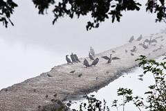 Grands cormorans, vanneaux huppés, héron cendré