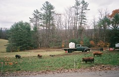 (mercedesmehling) Tags: olympus olympusstylusepic 35mm film vermont farm pigs