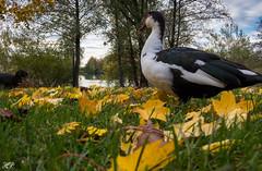 Herbst (hanspirkie) Tags: outdoor vogel natur tier laub