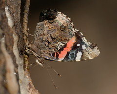 Red Admiral... (cotinis) Tags: insect lepidoptera butterfly nymphalidae nymphalinae vanessa vanessaatalanta redadmiral northcarolina piedmont sigma150mmexdgf28macro nc october