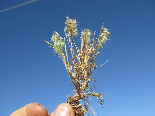 Lamarckia aurea plant15 NWS