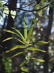 Bamboo (bamboosage) Tags: helios 402 1585 preset m42 russia