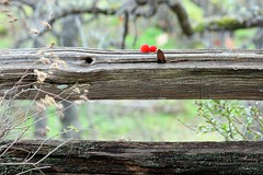(CanMan90) Tags: happy fence friday splitrail wood bokeh autumn berries november victoria britishcolumbia governmenthouse vancouverisland canon rebelt3i outdoors