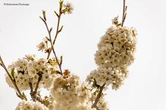 DSC_7302 (pisavola) Tags: flora monti pisani