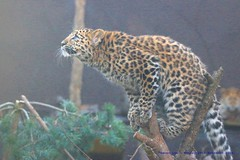 Poised.......... (law_keven) Tags: leopard amurleopard cats bigcats animals mammals leicester twycrosszoo zoo zoology