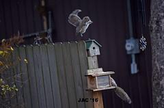 JUMP (smiles7) Tags: happyfencefriday fencefriday fence squirrels funny 3662016