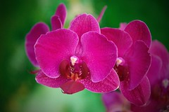 D52_DSC_9757(z)1 (A. Neto) Tags: nikon nikkorafs18105ged d5200 nikond5200 color flowers orchid red green macro nature bokeh