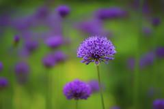Etwas Buntes (blichb) Tags: 2016 augsburg bayern botanischergarten deutschland natur pflanzen sonya7rii zeissbatis1885 blichb garten allium ngc npc