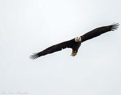 _DSC4927 (alan.forshee) Tags: bald eagle red tailed hawk raptor bird prey predator hunt fish fly soar flight feather sky