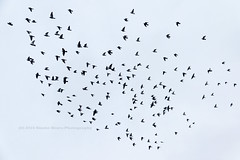 336/366 - Formation Dove... (Sinuh Bravo Photography) Tags: canon eos7d potd2016 ayearinphotos birds flying doves sky flock