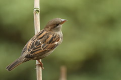 Female Housesparrow (david.england18) Tags: housesparrow smallbirds tits blue coal great robin blackbird canon7d canonef70200mmf28lisllusm birdsuk