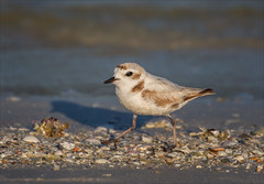 Wouldn't It Be Nice (Kathy Macpherson Baca) Tags: bay shore preserve animal bird birds aves endangered beach ocean wildlife nature world planet earth feathers fly sand shorebird cute little shells florida snowy plover
