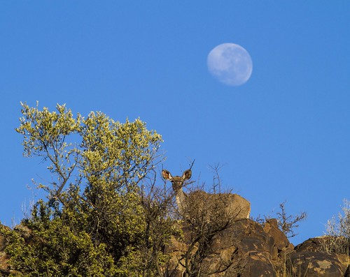 Kudu ewe, with Super Moon, Mokala National Park