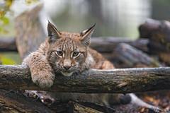Young lynx who can pose! (Tambako the Jaguar) Tags: lying posing resting cute logs comfortable portrait lynx big cat wild brown young male parcanimalier saintecroix park parc rhodes zoo france nikon d5