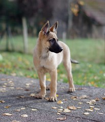 Mini et mimi, mais elle fait le maximum ! De btises ! :-) (Thierry.Vaye) Tags: aya chien dog berger belge allemand bokeh sigma 50mm f14