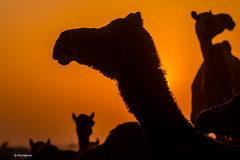 Camel sunset silhouette - Pushkar Camel Fair, India (Phil Marion (63 million views - thank you all)) Tags: pushkarcamelfair punjabi goan indian kids desi hindu tamil 5photosaday beautiful cosplay candid beach woman girl boy teen  schlampe      desnudo chubby young  nackt nu     nudo   kha upskirt   malibog    hijab nijab burqa telanjang   tranny  nude naked sexy   nubile phat cleavage slim plump sex slut nipples ass hot xxx boobs dick balls tits fat