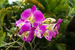 Orchids (Andy Latt) Tags: dsc02029r andylatt sony rx100m3 kerala india plants tropics tropical orchids