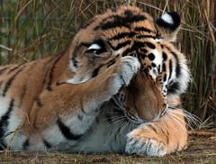 siberian tiger Beekse Bergen JN6A5182 (j.a.kok) Tags: tijger tiger siberischetijger siberiantiger pantheratigrisaltaica beeksebergen mammal zoogdier predator roofdier kat cat azie asia siberie