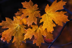 autumn leaves - low key - 10-21-16  02 (Tucapel) Tags: autumn leaves maple trees nature lowkey