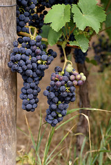 Weinstock / common grape vine (vitis vinifera) (HEN-Magonza) Tags: nature natur grapes flore weinstock weintraube vitisvinifera commongrapevine botanischergartenmainz mainzbotanicalgardens