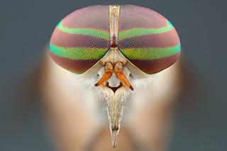 Tabanus occidentalis (Mutuca)