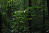 forest (Molly Des Jardin) Tags: park trees usa green leaves forest state pennsylvania 2014 susquehannock drumore 43215mm