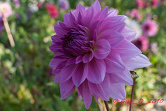 Dahlia rose (Guy_D_2010) Tags: dahlia flower flor blomma quintaflower  blume fiore blomst virg bloem lill blm kwiat  kukka d90   cvijet  blth chaumontsurloire languageofflowers
