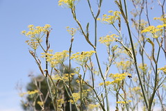Pollination (NataliaMaverakis) Tags: blue summer sky plants flower macro nature yellow bees flight bee