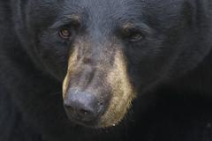 contact (ucumari photography) Tags: bear black animal mammal oso nc north september carolina grandfathermountain ursusamericanus 2015 specanimal ucumariphotography dsc4777