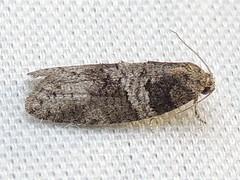 3573 Decodes  basiplaganus (Anita363) Tags: fauna yard insect grey newjersey gray moth nj september lepidoptera highlandpark dorsal mercuryvaporlamp bmna tortricidae tortricinae decodesbasiplaganus decodes decodesbasiplagana