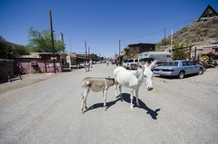 _DSC2146 (annaholmbom) Tags: arizona usa america donkeys donkey wideangle ghosttown amerika oatman vidvinkel sna snor