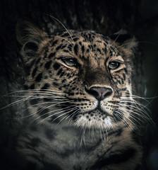 Amur Leopard (10000 wishes) Tags: portrait wildlife bigcat marwell endangeredspecies preditor