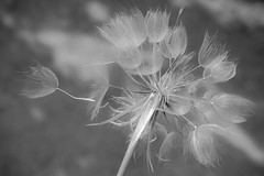 Make A Wish (Linda Dyer Kennedy) Tags: blackandwhite plant abstract art interesting dream dandelion dreamy wish salsify makeawish