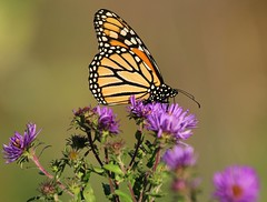 Monarch on Aster (Doris Burfind) Tags: flowers butterfly insect monarch