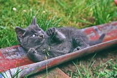 016_12A- (d_fust) Tags: cat kitten gato katze  macska gatto fust kedi  anak katt gatito kissa ktzchen gattino kucing   katje     yavrusu