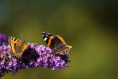 Feasting butterflies (2)... (zapperthesnapper) Tags: nature beautiful butterfly insect dof natural bokeh butterflies redadmiral colourful buddlia shallowdof greenbackground insectfeeding butterfliesfeeding