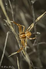 Ground Crab Spider (Xysticus sp.) (aliceinwl1) Tags: anza arachnid arachnida araneae araneomorphae arthropod arthropoda ca california crabspider entelegynes groundcrabspider riversidecounty thomisidae xysticus locpublic spider truespider viseveryone