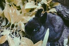 (jeshijabellatrix) Tags: pet rabbit bunny animal netherlanddwarfrabbit