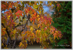 Nature - The Beautiful Colours of Autumn. (Bill E2011) Tags: show autumn red colour fall nature beauty leaves canon leaf colours view display attractive orangechlorophyll