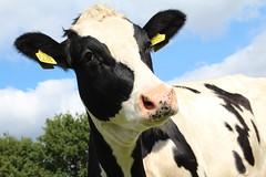 Delta Bello Lino (excellentzebu1050) Tags: animal animals closeup cow cattle outdoor farm animalportraits heifer dairycows oudside coth5 sept2015shootcowsheifers