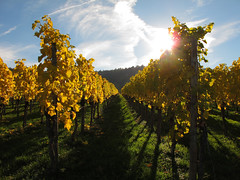 Autumn Sunlight in the Vineyard - Fellbach, Germany (Batikart) Tags: november autumn sun mountain plant green fall nature berg field grass leaves yellow rural forest canon germany landscape geotagged outdoors deutschland vanishingpoint leaf vineyard wire flora europa europe seasons wine path hill herbst landwirtschaft natur tranquility vine sunny row line foliage growth vineyards repetition gras recreation agriculture relaxation ursula landschaft wald grape grapevine stake wein weinberg sander g11 fellbach weinstock badenwrttemberg 2015 weintraube 200faves viewonblack batikart canonpowershotg11