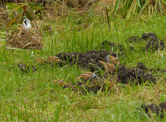 Baardmannetjes Lauwersmeer (capreolus) Tags: holland groningen bearded beardedtit baardmannetje reedlingpanurus biarmicusbirdsnp lauwersmeerprovince