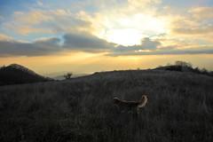Morgan (RD_Elsie) Tags: goldenretriever tuscany toscana bastione