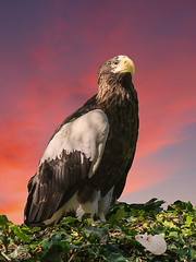 Stellers Eagle (JT3 Photographic) Tags: seaeagle stellers whitemouse ivy pinkclouds sandiegozoo california usa composite sandiego