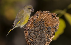 Gourmandise (kookaburra 81) Tags: oiseau tarn verdierdeurope carduelischloris europeangreenfinch fringillids passriformes bird