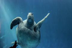 sea turtle (j j miller) Tags: ocean california water aquarium coast monterey education tank turtle montereybayaquarium montereybay science learning seaturtle hwy1 sustainability californiacoast bigblueocean