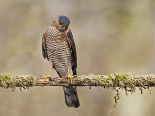 Sparrowhawk (Accipter nisus)