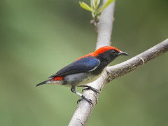 Scarlet-backed Flowerpecker (m) _ Sungei Buloh Wetland Reserve ☺☺ (mahi mahi 163) Tags: singapore 600mm flowerpecker
