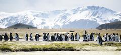November 24 (33 of 129) (CG.MOO) Tags: penguins nikon antarctica southgeorgia salisburyplain nikond810 cgmoo